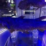 深海水族館でシーラカンスにあってきました。