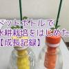 ペットボトルで水耕栽培をはじめた。