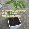 ダイソーで買ったパキラが成長してきたので植え替えをしてみた
