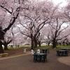 桜が見頃!走っていて楽しい3月5週目ラン。