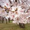 お花見スポット 小金井公園に行ってきた!満開の桜に感動した