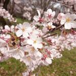 桜満開の小金井公園をラン。