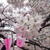 お花見スポット 目黒川に行ってきた!桜並木に圧倒された!