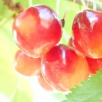 南アルプス市の金丸文化農園さんで「さくらんぼ狩り」をしてきた!さくらんぼのおいしさに驚いた!