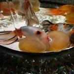 アートアクアリウム 2016 〜江戸・金魚の涼〜に行ってきた。金魚の芸術に感動した!