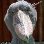 掛川花鳥園でハシビロコウに会ってきた!動かない鳥に感動!